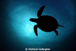 Green Sea Turtle in silhouette, taken today at Julian Roc... by Michael Gallagher