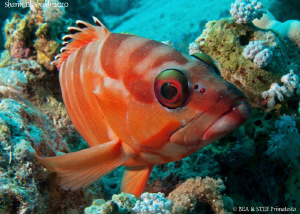 Red grouper. Canon Ixus 980. by Bea & Stef Primatesta