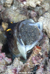Jawfish with eggs by Jackson Wong