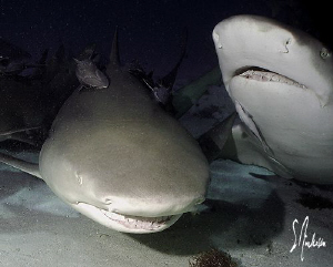 Two Lemon Sharks undecided as to who will get the bait. T... by Steven Anderson