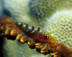 Whip coral goby; Lanai Lookout, Oahu, Hawaii. by Glenn Cummings