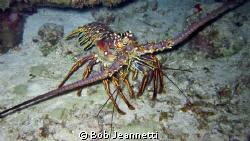 20+ pound spiny lobster on night dive by Bob Jeannetti