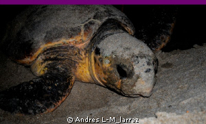 Green Turtle, PostPartum, Going back into the ocean Full ... by Andres L-M_larraz