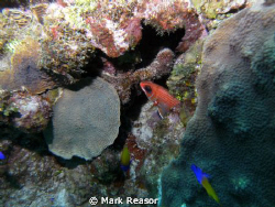 Squirrelfish and fairy Basslet among the coral.  Taken wi... by Mark Reasor