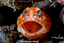 Jawfish Yawn by Jackson Wong