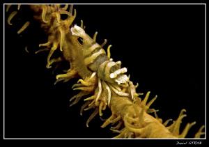 Shrimp on a whip coral at Alcoy Dive Point, Cebu by Daniel Strub