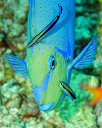 Unicornfish on a cleaning station by Paul Colley