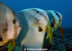 Say Aaaaaaaaaahhh!!! A trio of Batfish lining up for a cl... by Michael Gallagher