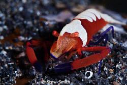 emperor shrimp by Stew Smith