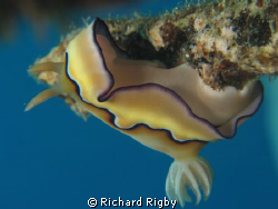 A Nudibrach on one of the lovely walls in Gorontalo. How ... by Richard Rigby