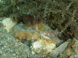 A Octopus. I use a Olympus 6000 point and shoot camera wi... by Eric Walker