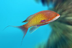A male Anthias against some background blur to help make ... by Paul Colley