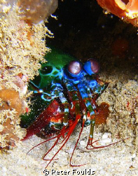 Mantis shrimp was difficult to get a clear shot current w... by Peter Foulds
