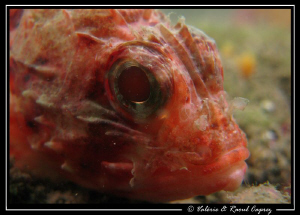 Picture taken with a Canon G9 and a Inon UCL 165 macro le... by Raoul Caprez