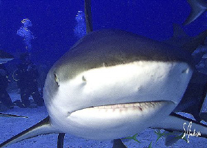 """Smile for the Camera"" This image of a Reef Shark was tak... by Steven Anderson"