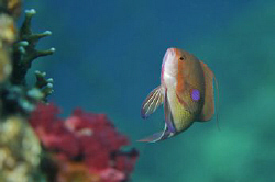 Male Anthias swimming above a Red Sea reef by Paul Colley