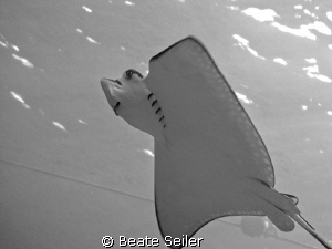Spotted Eagleray, taken at ElQuadim Housereef with Canon G10 by Beate Seiler