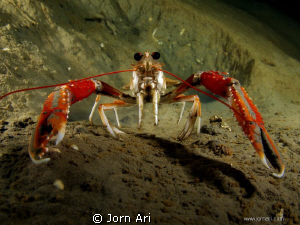The Norway lobster, Nephrops norvegicus Shot in the fant... by Jorn Ari