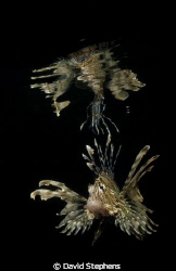 Lionfish Reflection taken in Nuweiba with D100 and 20mm lens by David Stephens
