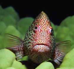 Blackside hawkfish photographed at a depth of 60'; Oahu, ... by Glenn Cummings