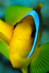 Typically feisty Red Sea Anemonefish taken with 60mm macr... by Paul Colley