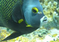 Curious angelfish. Shot free-diving with Olympus 750 and ... by Don Bruschera