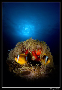 Anemone-nest... by Dray Van Beeck