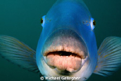 An icon of Sydney diving - the Eastern Blue Groper. The b... by Michael Gallagher