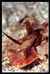 Flying gurnard.Nikon F100,105mm,f16,1/60,YS-120,RVP100. by Allen Lee