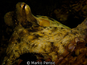 Gloomy Octopus. Octopus tetricus. by Marko Perisic