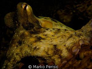 Gloomy Octopus. Octopus tetricus. by Marko Perisic