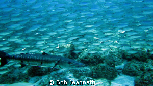 Barracuda and Jacks by Bob Jeannetti