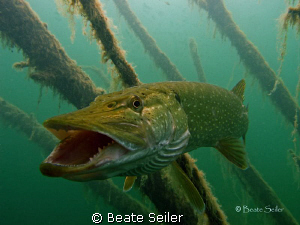 Nothern Pike taken with Canon S70 by Beate Seiler