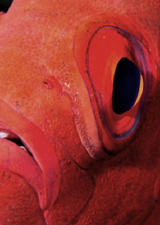 Close up of a very patient Bigeye on a Red Sea reef by Paul Colley
