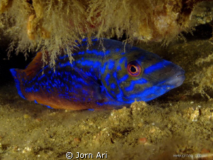 Cuckoo wrasse,  (Labrus mixtus)