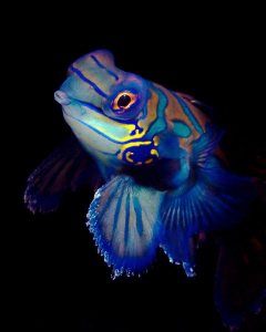 """""""Mandarin Fish""""  from the Kasai Village's house reef, M... by Henry Jager"""