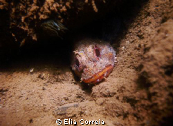 Cute madeiran scorpion fish in muddy waters! by Elia Correia