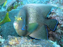 Angel fish. Turned into me with a startled look. Shot wit... by Brendon Baines