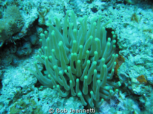 anemone on night dive by Bob Jeannetti