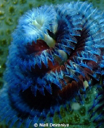 Close up macro shot of a Blue and Red Xmas tree worm take... by Niall Deiraniya