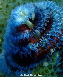 Close up macro shot of a Blue and Red Xmas tree worm take... by Niall Deiraniya
