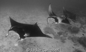 Manta Train. End of an amazing dive with 20 feeding mant... by Jackie Campbell