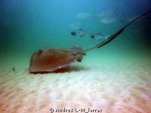 Stingray w/ Jacks by Andres L-M_larraz