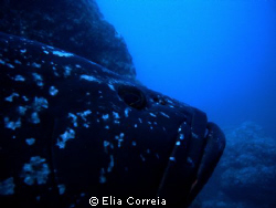 Madeiran Grouper in Garajau! by Elia Correia