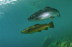 Rainbow and Brown Trout at Capernwray, a small land-locke... by Paul Colley