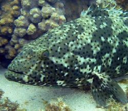Eastuary Cod trying to 'blend in' to the background. Cora... by Penny Murphy