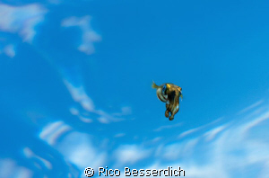 "The ""Skydiver"". Swimming with the camera below this small... by Rico Besserdich"