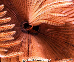 Feather Star Close up by Niall Deiraniya