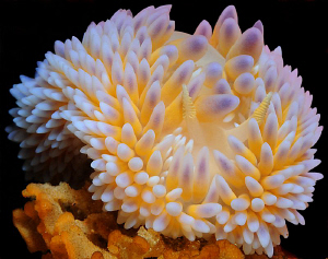 Gas Flame nudibranch shot in False Bay, Cape Town. by Charles Wright