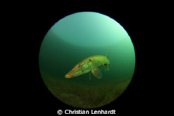 Pike seen through fisheye by Christian Lenhardt